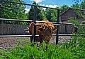 Шотландька худоба в зоопарку (Рівне) DSC 6290.jpg
