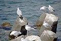رفتار مرغان دریایی نوروزی یا یاعو در کشور عمان، شهر مسقط، ساحل دریای عمان - عکس مصطفی معراجی 26.jpg