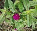 வாடா மல்லி 2 (Gomphrena globosa ).jpg