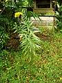 セイタカアワダチソウ(背高泡立草)(Solidago canadensis var. scabra または Solidago altissima) (5853049870).jpg