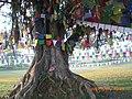 佛陀诞生地的娑罗树 - panoramio.jpg