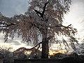 円山公園の桜 - panoramio (3).jpg