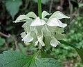 南方糙蘇 Phlomis umbrosa v australis -武漢清涼寨 Wuhan, China- (34151944701).jpg