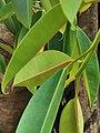 印度橡膠榕 Ficus elastica 20201007182924 02.jpg