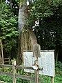 古保利の大ヒノキ - panoramio.jpg