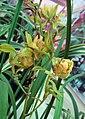 四季玉山奇蝶 Cymbidium ensifolium 'Yu-Shan Odd Butterfly' -香港北區花鳥蟲魚展 North District Flower Show, Hong Kong- (12167555015).jpg