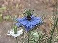 家黑種草 Nigella sativa -牛津大學植物園 Oxford Botanic Garden- (9200912024).jpg