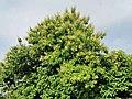 柚木 Tectona grandis 20210907093544 02.jpg