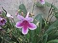 海角櫻草 Streptocarpus Picturesque -倫敦植物園 Kew Gardens, London- (9198152099).jpg