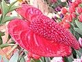花燭(紅掌)-魔術紅 Anthurium andraeanum Magic Red -香港花展 Hong Kong Flower Show- (15285640326).jpg