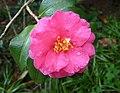 茶梅 Camellia sasanqua Lucinda -香港公園 Hong Kong Park, Hong Kong- (40609267771).jpg