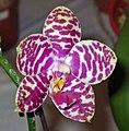 象耳蘭 Phalaenopsis gigantea -香港沙田洋蘭展 Shatin Orchid Show, Hong Kong- (9252460447).jpg