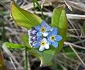 野勿忘草 Myosotis arvensis -挪威 Hardangervidda National Park, Norway- (35114893534).jpg