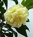 金花山茶雜交-正黃旗 Camellia (nitidissima x japonica) Kagirohi -深圳園博園茶花展 Shenzhen Camellia Show, China- (9219874977).jpg