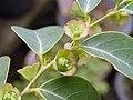 黑面神 Breynia fruticosa -香港青松觀 Tuen Mun, Hong Kong- (9219901401).jpg