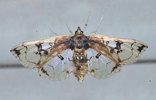 <i>Compacta capitalis</i> Species of moth