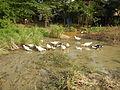 0006jfLandscapes Ducks Grass Roads Maronquillo San Rafael Bulacanfvf 13.JPG