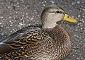 027 - MALLARD (Northern x Mexican hybrid male) (12-5-2016) farmington, san juan co, new mexico -b(6) (31574081472).jpg