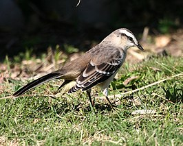 060328 chalk-browed mockingbird a CN - Flickr - Lip Kee.jpg