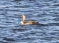092 - PACIFIC LOON (10-26-10) patagonia lake state park, scc, az (2) (8720118965).jpg