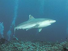 Un requin avec des plongeurs.