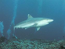 Silvertip shark - Simple English Wikipedia, the free encyclopedia