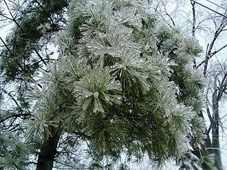 January 2009 North American ice storm - Image: 09 Ice Storm Kentucky