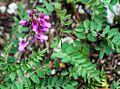 1024 Alpen-Süßklee (Hedysarum hedysaroides)-2073.jpg