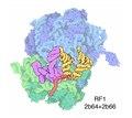 121-70SRibosomes termination.tif