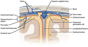 "Subarachnoid space - Diagrammatic representation of a section across the top of the skull, showing the membranes of the brain, etc. (""Subarachnoid cavity"" visible at left.)"