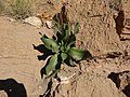 15)flore d'El kantara(Algerie).jpg