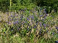 20120626Anchusa officinalis1.jpg