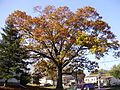 2014-10-30 09 46 05 Large oak during autumn leaf coloration at the corner of Lower Ferry Road and Terrace Boulevard in Ewing, New Jersey.JPG