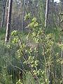 20140327Sambucus racemosa1.jpg