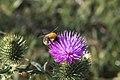 20150726 005 Kessel Weerdbeemden Speerdistel Cirsium vulgare (19401645813).jpg