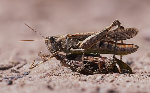 Chorthippus brunneus, female