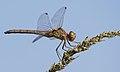 2016.09.09.-08-Anglersee Bruehl--Grosse Heidelibelle-Weibchen.jpg