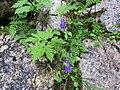 2017-07-22 (19) Campanula pulla (dark bellflower) at Dürrenstein (Ybbstaler Alpen).jpg