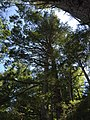 2017-08-19 11 35 36 View up into the canopy of a grove of Eastern Hemlocks along the Bull Run-Occoquan Trail between the Yellow Trail and the Red Trail within Hemlock Overlook Regional Park, in southwestern Fairfax County, Virginia.jpg