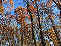 2017-11-23 13 12 27 View up into the canopy of several trees during late autumn along Stone Heather Drive near Stone Heather Court in the Chantilly Highlands section of Oak Hill, Fairfax County, Virginia.jpg