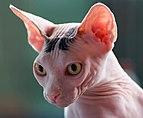 20170604 Sphynx cat 7984.jpg
