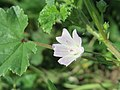 20170822Malva neglecta3.jpg