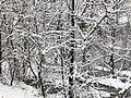 2018-03-21 12 56 37 Snow-covered trees and bushes in a swamp along a walking path in the Franklin Farm section of Oak Hill, Fairfax County, Virginia.jpg
