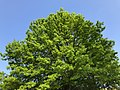 2018-05-11 17 45 53 Pin Oak foliage in mid-late spring along Kinross Circle in Oak Hill, Fairfax County, Virginia.jpg