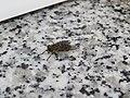 2018-06-18 (129) Tabanidae (horsefl) at Bichlhäusl in Frankenfels, Austria.jpg