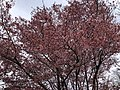 2019-03-30 16 18 14 A winter-flowering cherry blooming along Willow Glen Court in the Franklin Farm section of Oak Hill, Fairfax County, Virginia.jpg