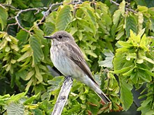 2019-08-23 Spotted Flycatcher, Town Moor, Newcastle, Northumberland 3.jpg