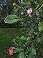 20190822 Apple tree is blooming in autumn 01.jpg