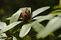 20200503Rhododendron Deutsch-Franzoesischer Garten 01.jpg