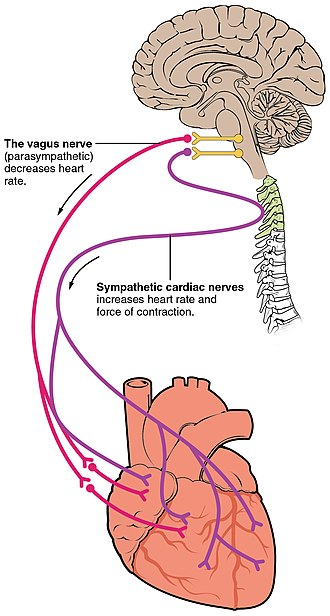 Cardiac physiology - Autonomic innervation of the heart